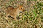 .....Mini-König der Löwen....4...
