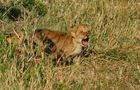 .....Mini-Löwe (n) ..in 6 Bildern....