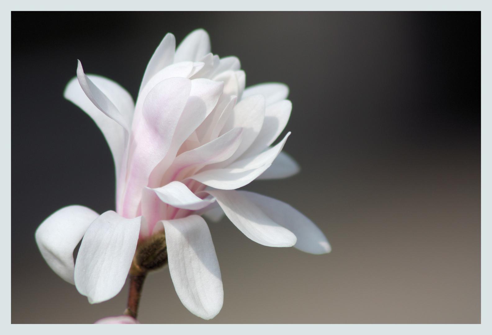 Mini Magnolien
