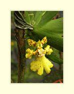 Mini-Orchidee......