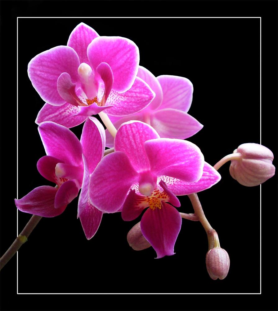 mini orchidee foto bild pflanzen pilze flechten. Black Bedroom Furniture Sets. Home Design Ideas
