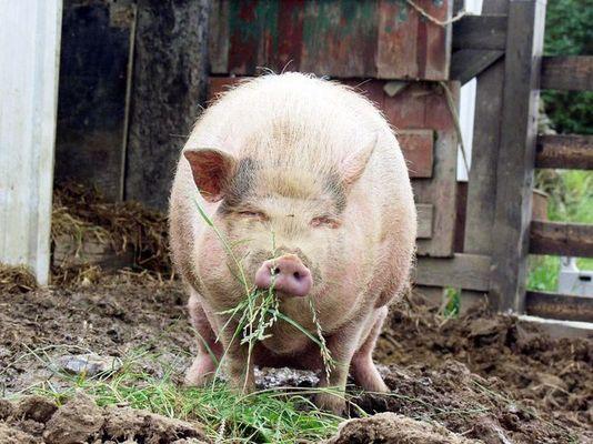 Mini Pig Einstein