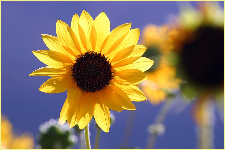 Mini Sonnenblume