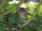 Mini-Tiger auf der Pirsch