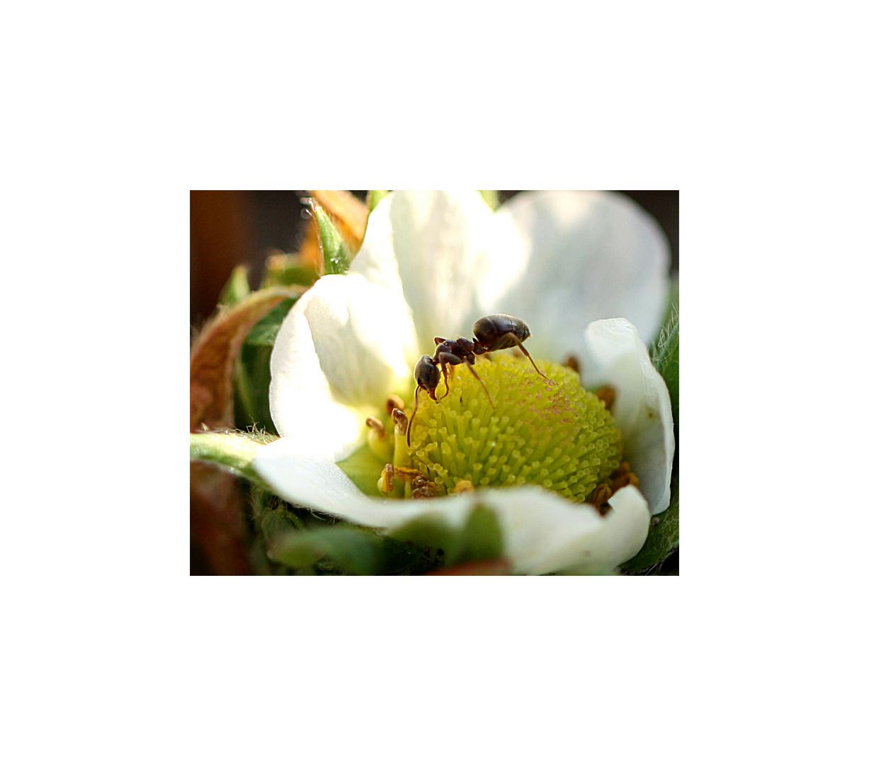 Miniatur: Ameise an Erdbeere