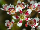 Miniaturblüten