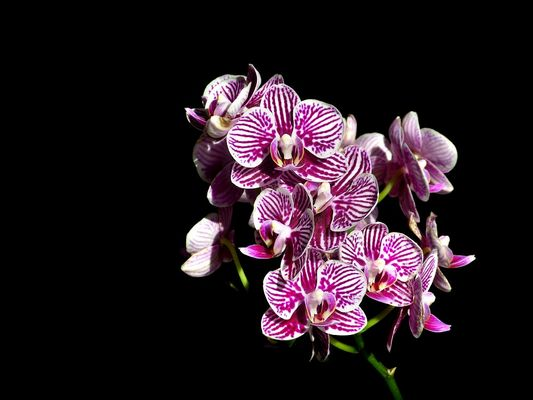 Miniature orchid