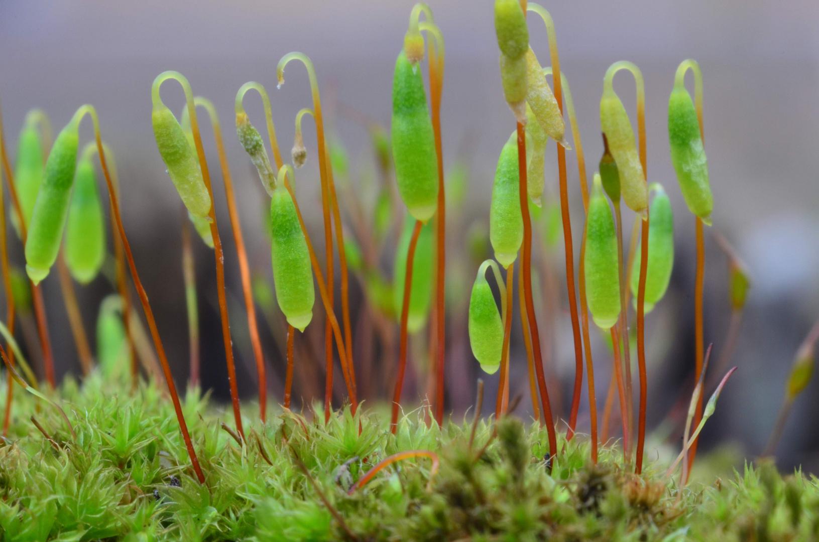 Miniaturwelten aus moos foto bild pflanzen pilze for Moos bilder pflanzen