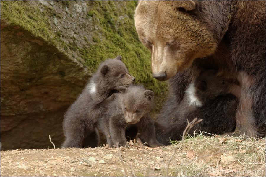 Minibärenpower hoch drei im Nationalpark