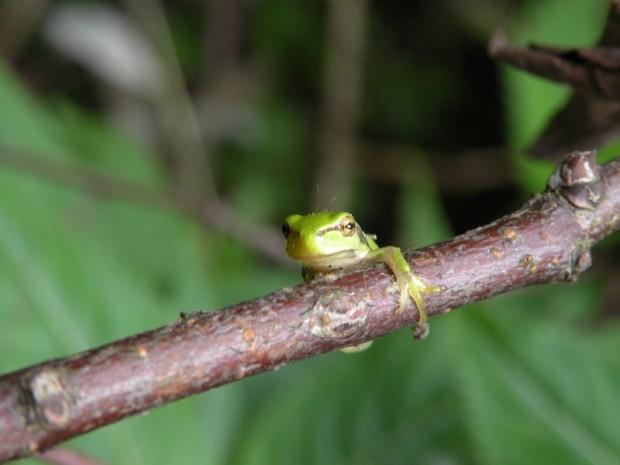 minifrosch im bannwald