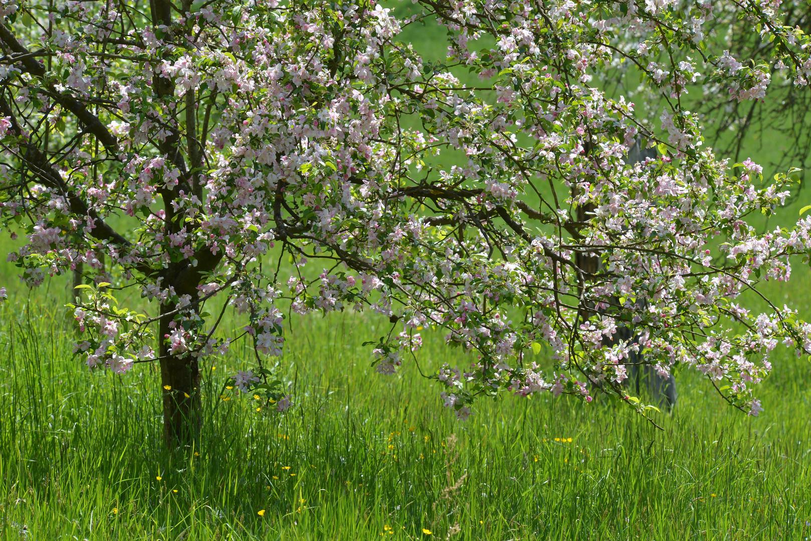 Minikirschenbäume