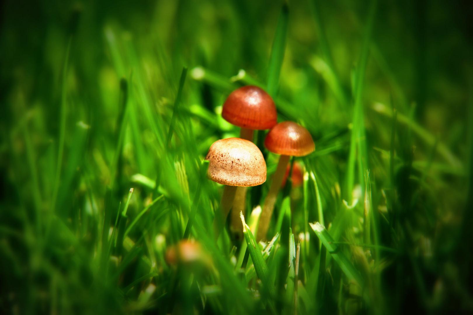 Minipilze im Gras
