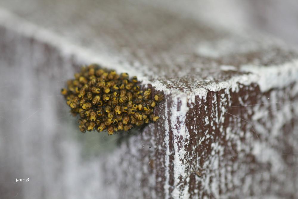 minuscules araignées