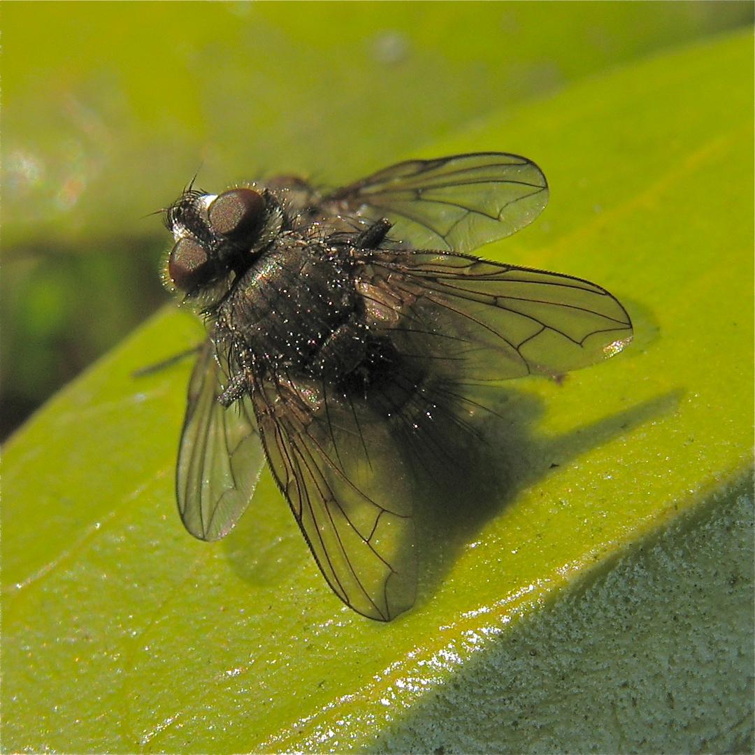 Minutenlange Paarung von (Raupen-?) Fliegen
