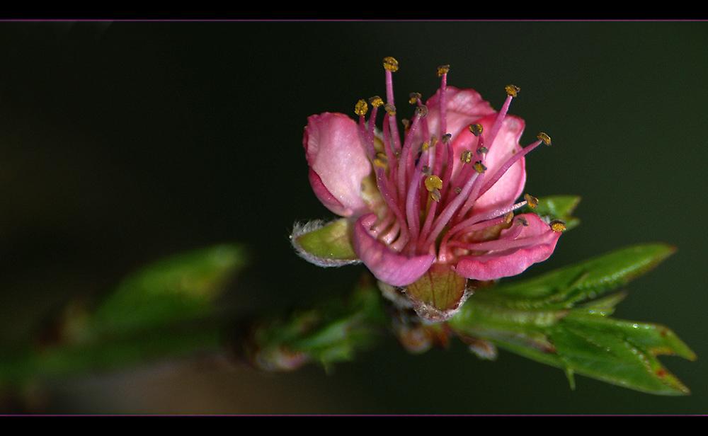 Mirabellen-Blüte
