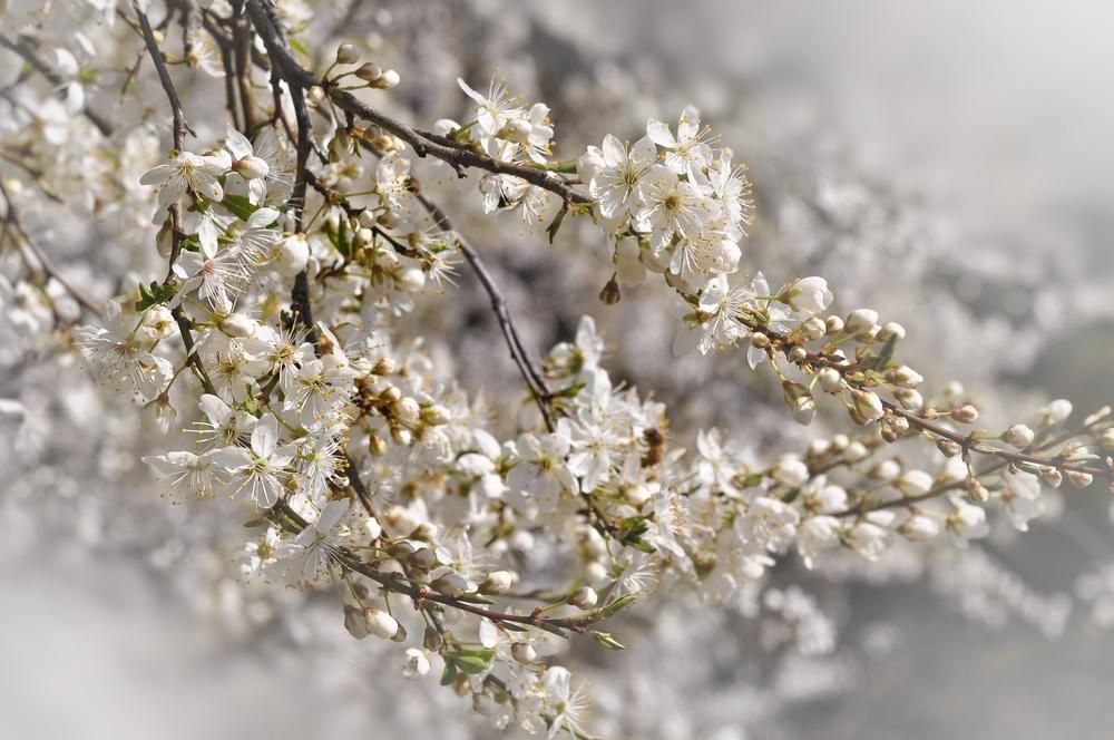 Mirabellen-Frühling.....