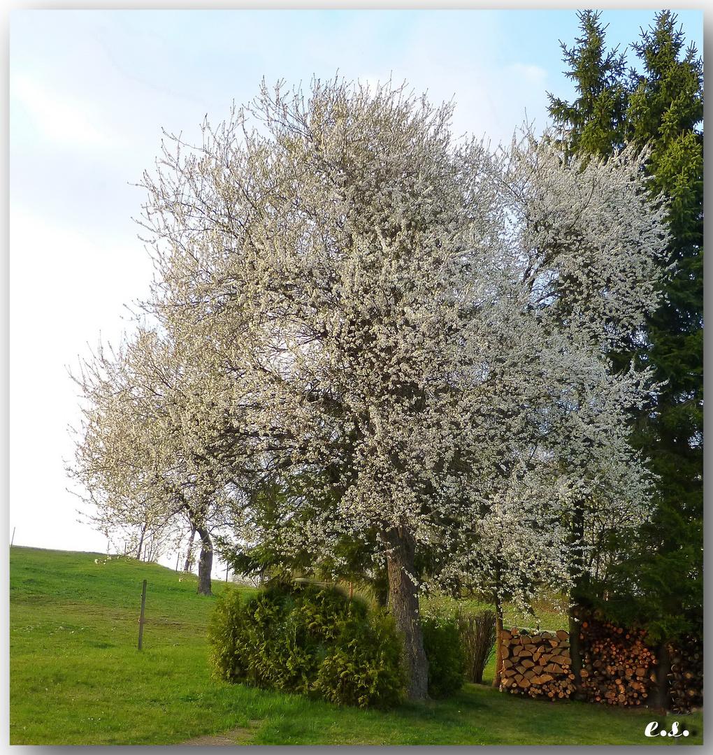 Mirabellenbaum in voller Blüte.