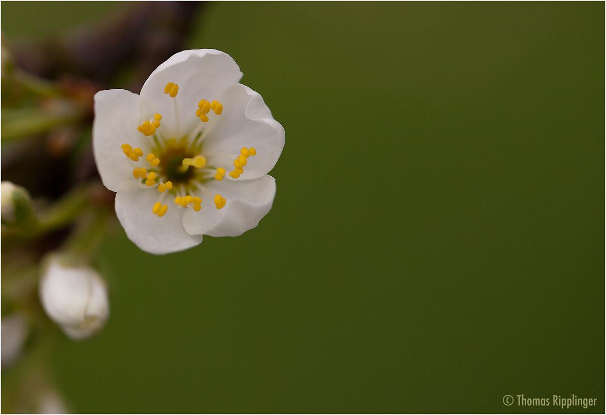 Mirabellenblüte....