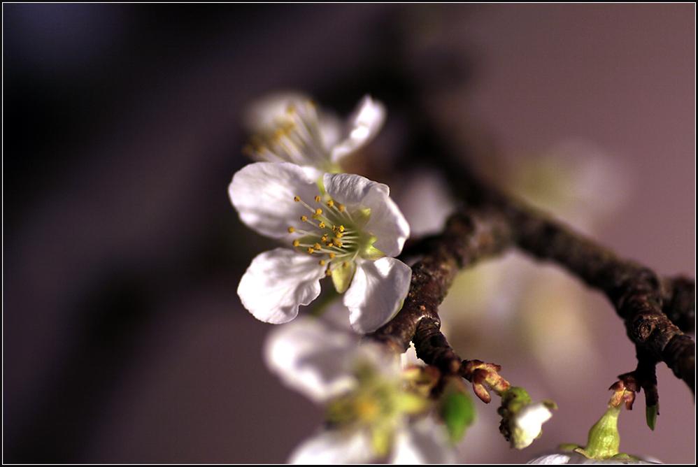- Mirabellenblüten -