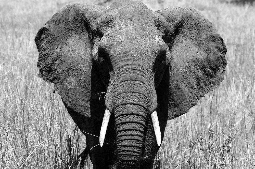mirada de elefante