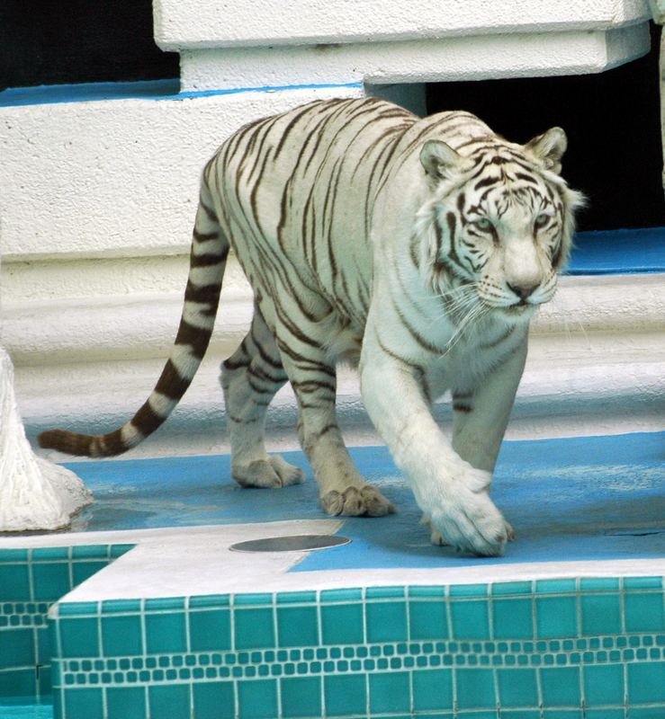 Mirage White Tiger