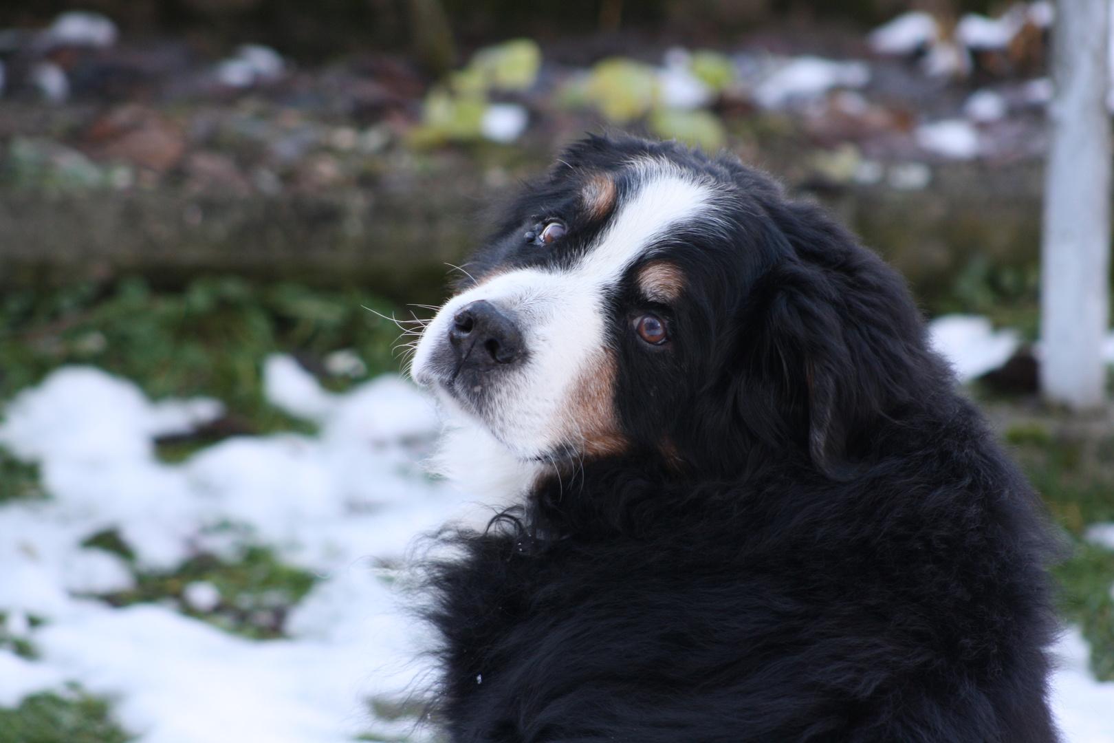 Mirko, der Berner Sennenhund meiner Mutter