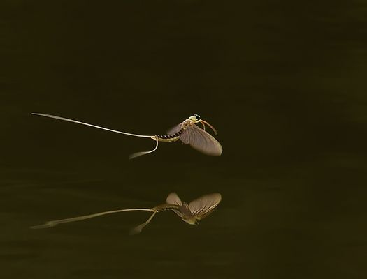 Mirorred (Flying Mayfly Over The River Tisza in Hungary)