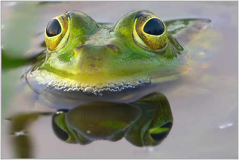 mirrored frog.....