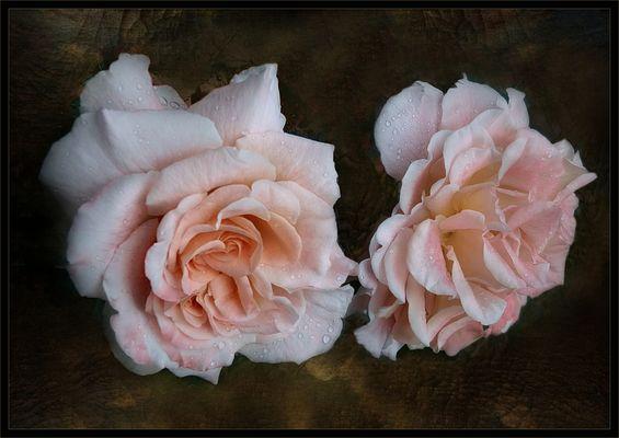 Mis rosas en verano
