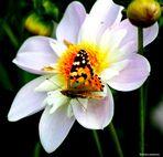 Misma mariposa, distinta Dalia.