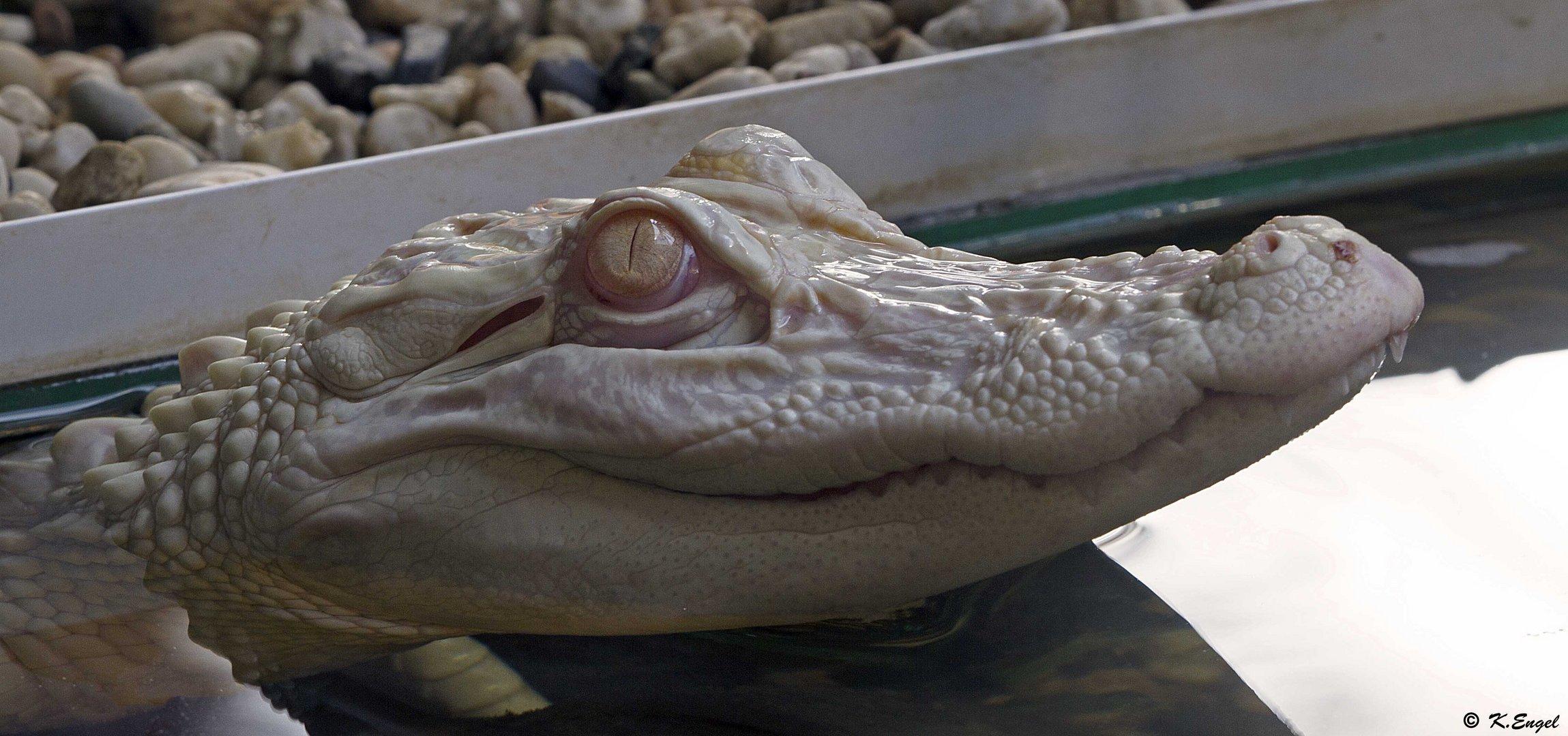 Mississippi Albino - Alligator