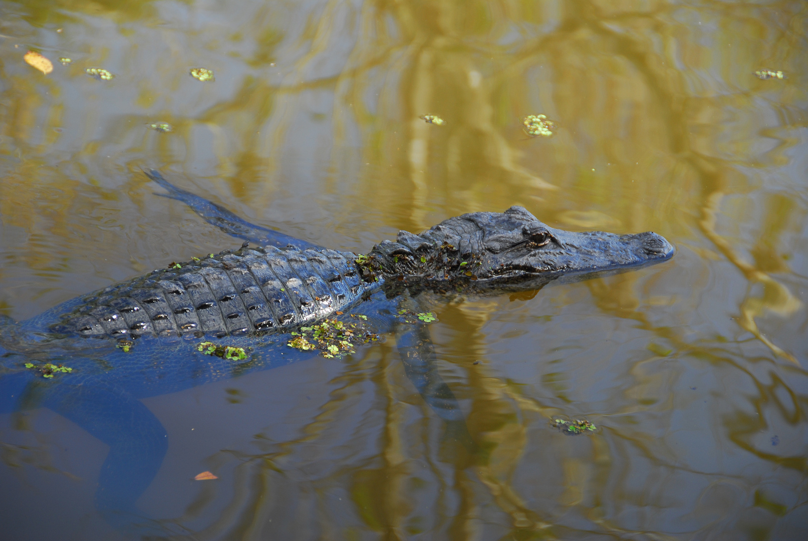 Mississippi-Alligator