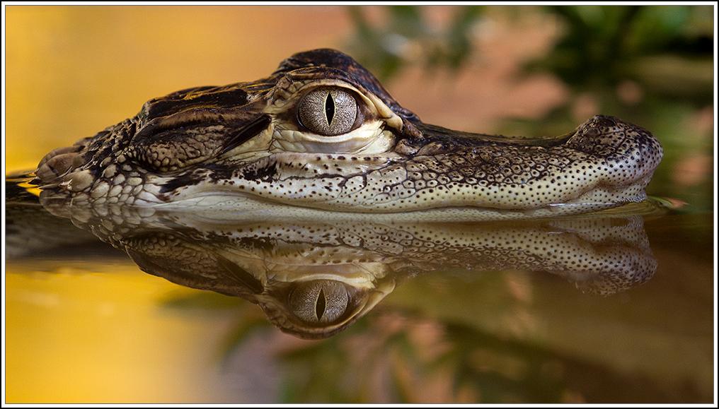 Mississippi-Alligator II