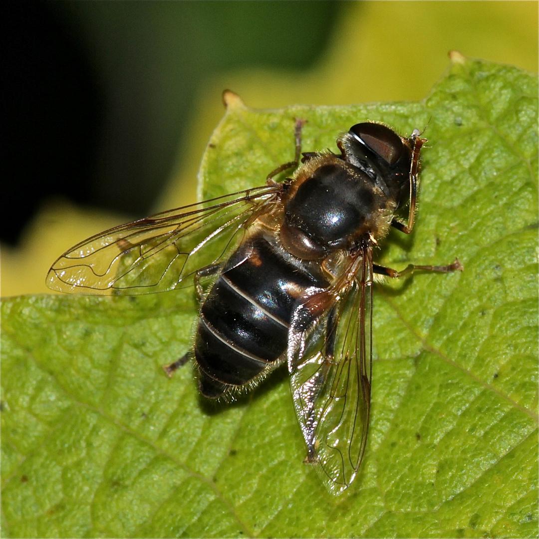 """""""Mistbiene"""", eine Schwebfliege der Gattung Eristalis, beim Putzen der Augen"""