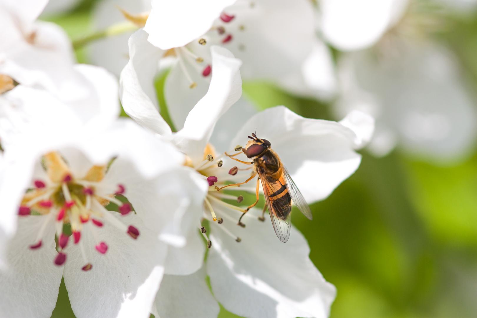 Mistbiene (Eristalis tenax)