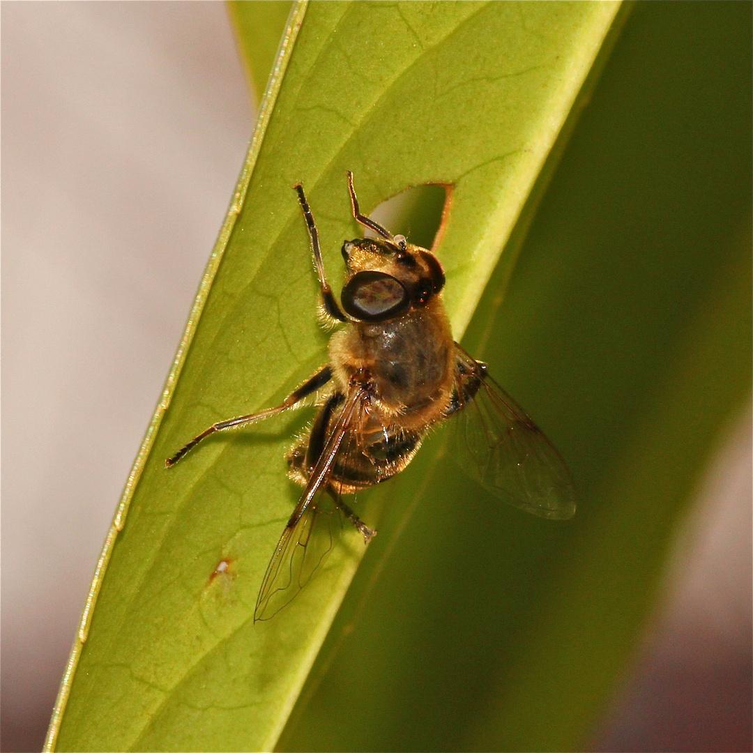Mistbiene Eristalis tenax - Bild 6: Putzen des Bauches (Abdomen)