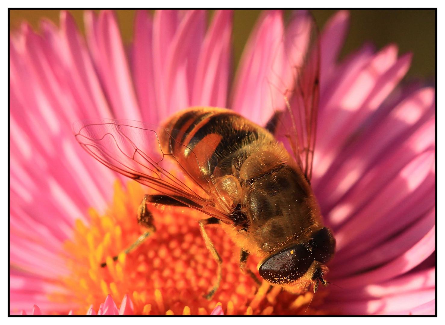 Mistbiene (Eristalis tenax) - Männchen