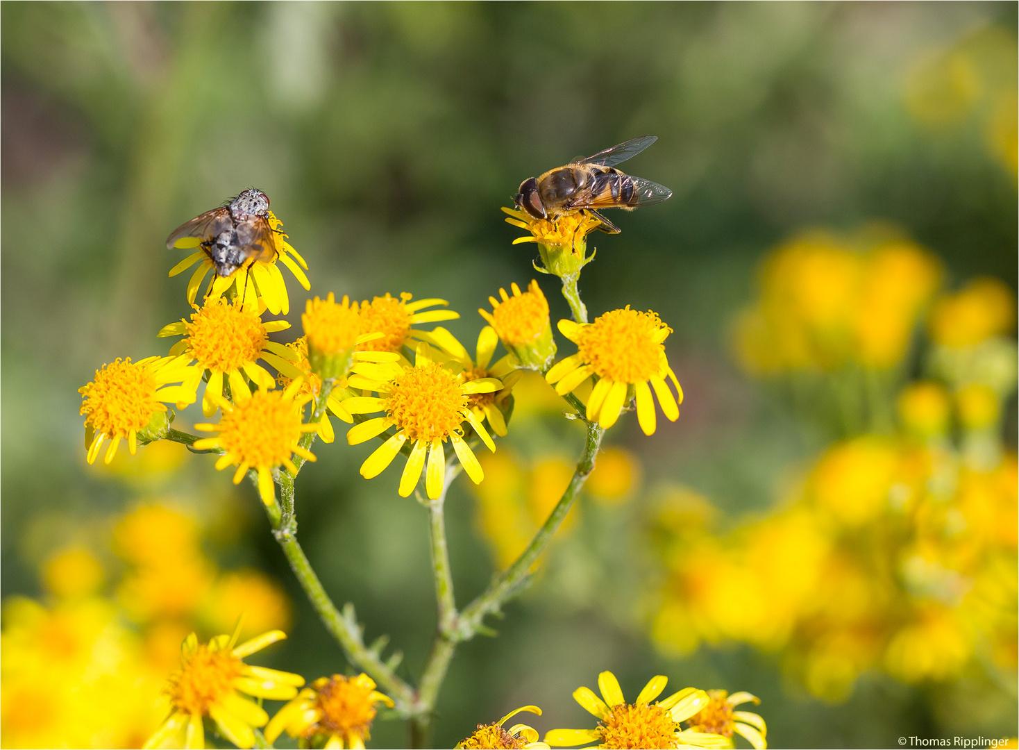 Mistbiene (Eristalis tenax) und noch eine andere....