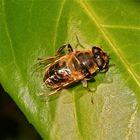 Mistbienen-Frühjahrsputz - Bild 4: Putzen des Thorax