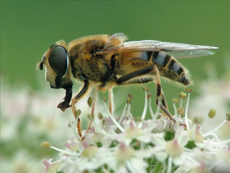 Mistbienen gibt es so viel zur zeit.....