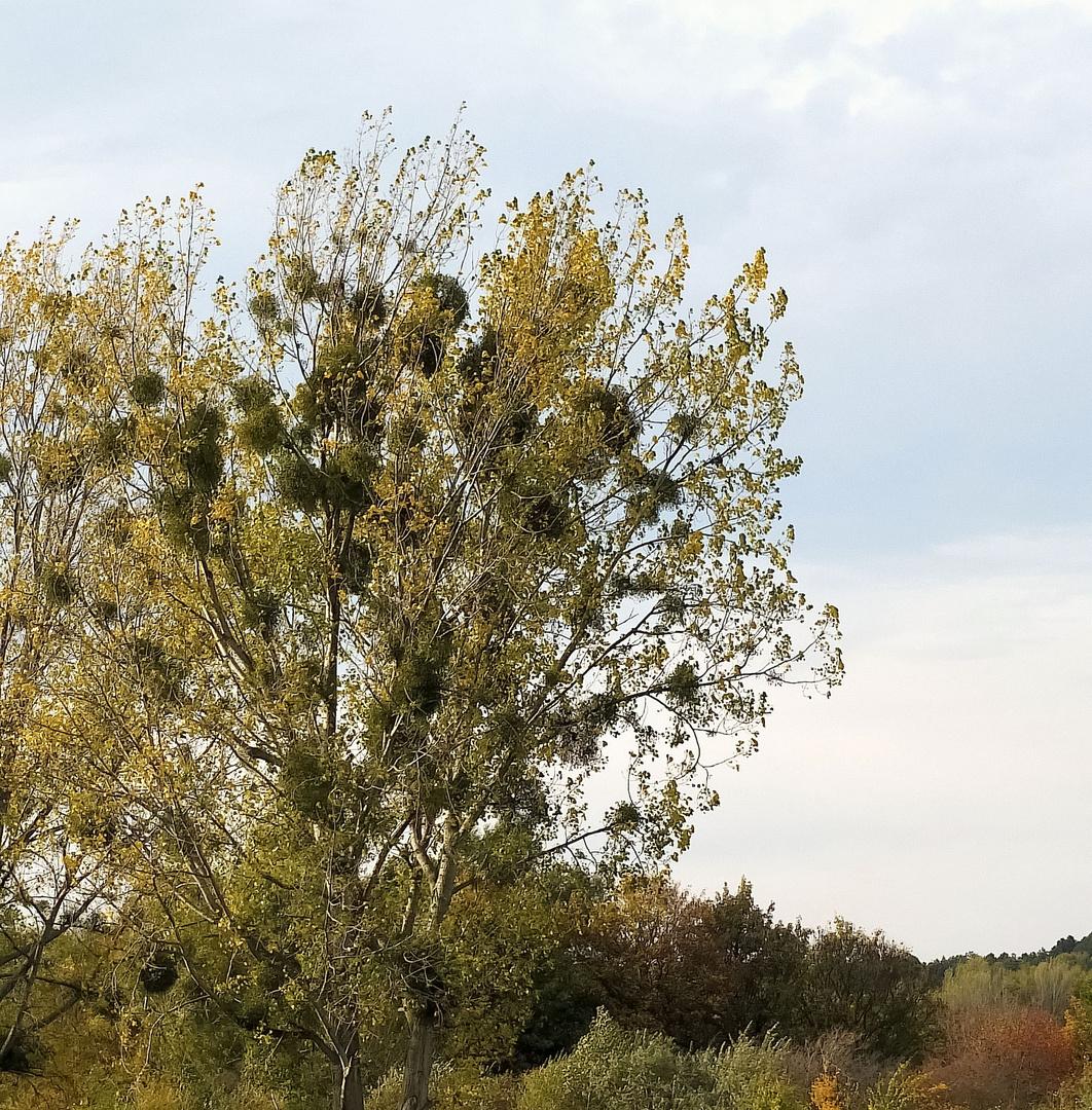 Mistel im Herbst