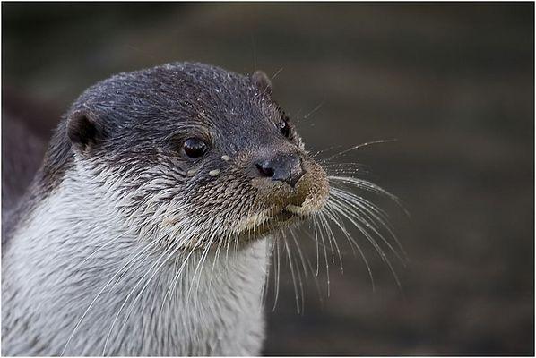 Mister Otter