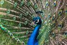 Mister Peacock
