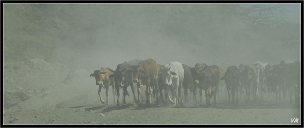 Misty cows in Kenya...