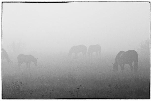 Misty Morning Horses