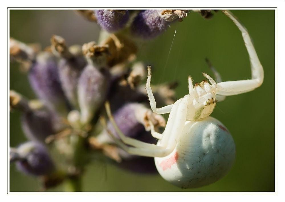 Misumena: Spinne der Jahres 2006