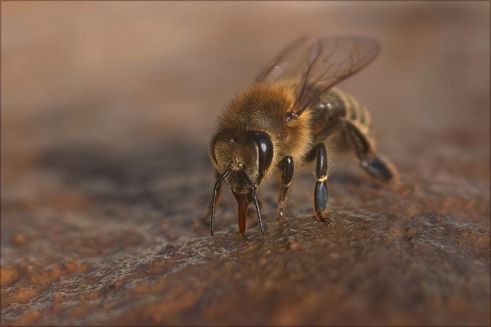 Mit der Honigbiene...