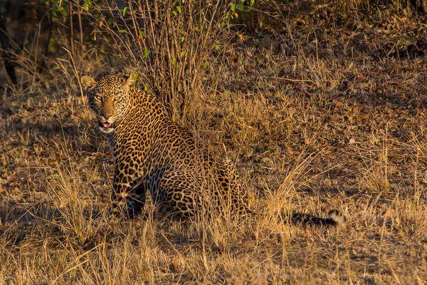 Mit diesem Leoparden....