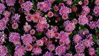 --- Mit diesen Blumen....---