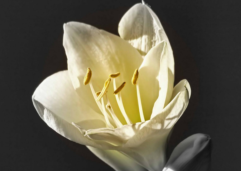 Mit dieser Amaryllisblüte ...